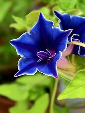 15+ Morning Glory Blue Picotee Flower Seeds / Ipomoea / Annual
