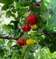 1x Surinam Cherry Fruit Tree, Eugenia Uniflora Live Plant Seedling Free Shipping