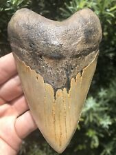 "Huge Beautiful Serrated 4.67"" Megalodon Tooth Fossil Shark Teeth"