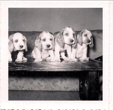 Four Absolutely Adorable Cocker Spaniel Puppies Puppy Dogs Vintage 1940s Photo