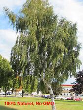 250+ - Cutleaf Weeping Birch - Betula - pendula - laciniata - Bouleau français -