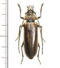 Cerambycidae:Nadezhdiella japonica female 47.5mm, A1, unmounted,Japan,beetle