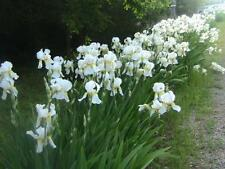 5 organically grown white tall GERMAN bearded iris rhizome bulbs