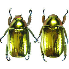 Insect - Chrysina aurigans - Costa Rica - MINT Pair 30mm+ ....!!