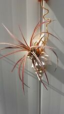 Tillandsia in sea shell hanging Air Plant Exotic Tropical