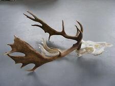 Great Fallow Deer Antlers Skull taxidermy skull head hunting