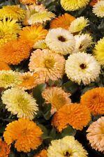 Calendula Seeds - BON BON MIX - Pot Marigold - Medicinal Benefits - 25 Seeds