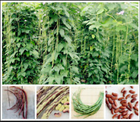 Long Bean Vigna Bonsai Unguiculata 20 PCS Seeds Purple Yard Garden Vegetable NEW