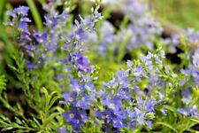 3 x Veronica prostrata 'Goldwell' Jumbo Plug Plants Perennial