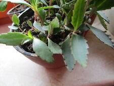 10 Ableger  Goethepflanze Brutblatt einfache fast vergessene Zimmerpflanze