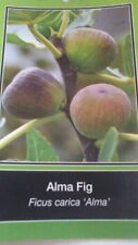 ALMA FIG TREE Live Plant Fruit Trees Healthy Figs Plants Home Garden Orchards