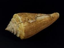Conus, profundiconus teramachii, Somalia, 96,5 mm, VINTAGE STOCK