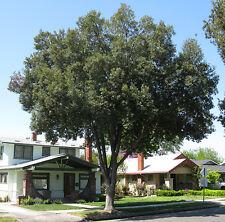 Evergreen Oak Trees x 7. Quercus Ilex - 'Holm Oak'. 3L pot at height: 100-120CM
