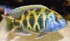 (1) Nimbochromis Venustus, 1.25 inch, Haplochromide African Cichlid