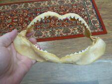 "(sj470-116-4) 8"" Tiger SHARK B grade jaw sharks jaws teeth taxidermy educational"