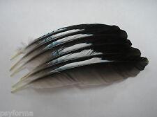 Pêche a la truite / Lot de plumes d'ailes de geai pour confection de mouches