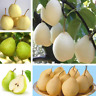 50Pcs Yellow Pear Fruit Seeds Ordinary Bonsai Perennial No GMO Sweet Garden