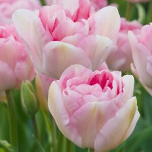 Tulip Bulbs Angelique Double Peony Spring Large Flowers