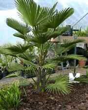 20 x Trachycarpus Wagnerianus hardy palmtree seeds, Dwarf Chusan Palm