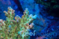 RN Hallucination -Acro Coral Fag sps Reefnation