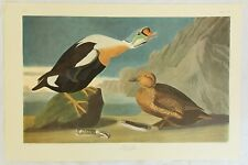 The Birds of America. Audubon. King Duck. Amsterdam Edition.