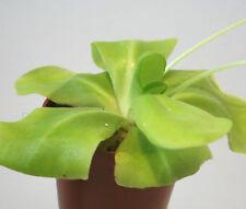 "PINGUICULA TINA (agnata x zecheri) Butterwort live carnivorous plant in 3½"" pot!"