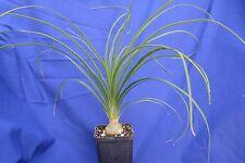NOLINA BEAUCARNEA RECURVATA vaso pot 7x7x10 cm pianta Succulenta Succulent Plant