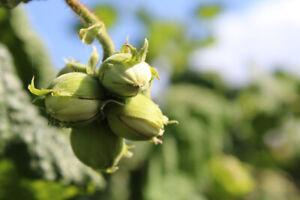 1x Hazel Tree (Corylus avellana) Cell grown 1.5-2ft tall - EDIBLE NUTS