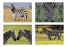 4 Zebra / Zebras  5 x 7 / 5x7 GLOSSY 4 Photo Picture LOT