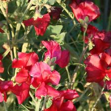 SWEET PEA Royal Family Crimson Seeds (F 300)