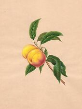 Indian Nectarine Fruit Painting Handmade Wild Plant Nature Mogul Miniature Art