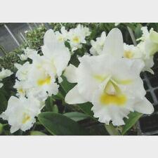Bc Island Charm 'Oc', orchid plant
