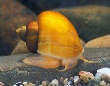 1 Gold Mystery Snail freshwater moss java shrimp guppy live