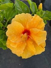 EXOTIC HYBRID MANGO YELLOW HIBISCUS STARTER LIVE PLANT 3 TO 5 INCHES TALL