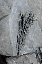 Nice Drymocrinus (ectenocrinus) Geniculatus Crinoid Ordovician Fossil echinoderm