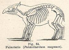 B1156 Paleoterio - Incisione antica del 1929 - Engraving
