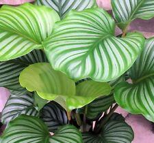 ORBIFOLIA CALATHEA decorative indoor plant in 140mm pot - Rarely Available