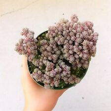Sedum Hispanicum Purpureum Ground Cover Spanish Stonecrop Succulent (4 inch pot)