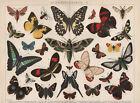 SCHMETTERLINGE Lepidoptera Papilio Feuerfalter Admiral LITHOGRAPHIE von 1894