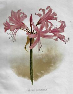 H.G. Moon's Antique Floral - NERINE BOWDENI - Chromolithograph - 1903