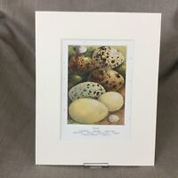 Antico Vittoriano Colore Stampa Uccelli Uova Egg Raccolta Ca 1895