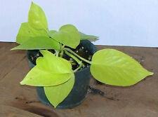 Philodendron Neon Pothos Epipremnum Aureum Devils Ivy potted plant