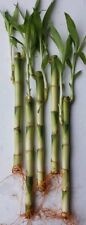 """((BUY 1 GET 1 50 %OFF)5 STRAIGHT STALK OF 8"""" LUCKY BAMBOO-FENN SHUI-LIVE PLANT"""