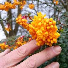 18 Berberis Darwinii Thorns Spikes Hedge Plants Berries Pot Grown Flowers e263