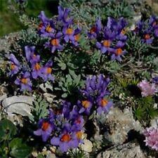 Linaria- Alpina- 50 Seeds