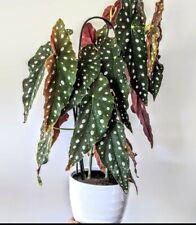 New listing Cutting Begonia Maculata Wightii Live Small Plant Mottled Leaves Bare Root