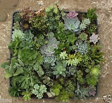 JIIMZ 36 MISC SUCCULENT COLLECTION  SPRING SPECIMENS