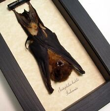 Valentine's Day Gift For Men Real Taxidermy Bat-Scotophilus Kuhlii Resting B1318