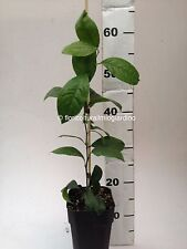 Piante di Limetta / Lime Verde - Citrus Aurantifolia - Ibrido Limone / Cedro