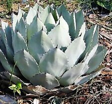 10 Seeds - Parry's Century Plant - Agave parryi ' Giant Form'